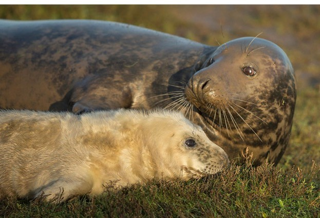 Grey seal pups have been victims of predation on Bull Island. © Dan Kitwood / Getty