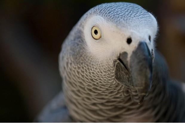 Grey_Parrot_Psittacus_erithacus_C2A9Ken_Schwarz_Flickr_623-800d4f6