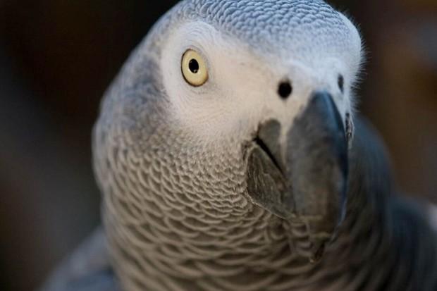 Grey_parrot_ken_schwarz_623-9031fa8