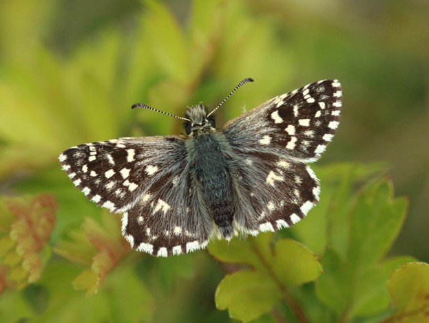 Grizzled-Skipper_April-2018_Mark-Searle-Butterfly-Conservation_623-8b0e63c