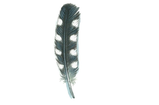 Great spotted woodpecker feather
