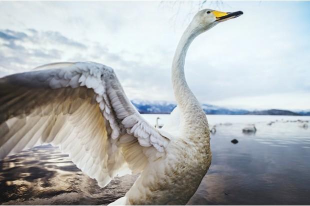 Whooper swan on Lake Kussharo © Haitong Yu/Getty