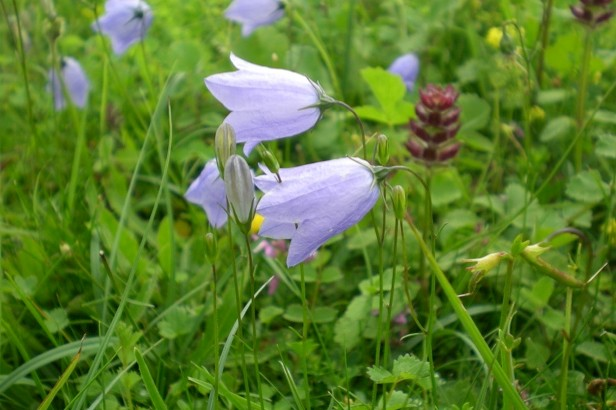 Harebell is a declining wildflower species. © Beth Halski/Plantlife