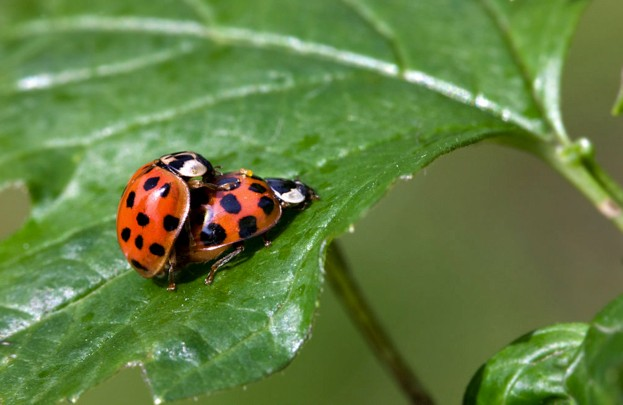 Ladybirds mating in the garden (Coccinellidae)
