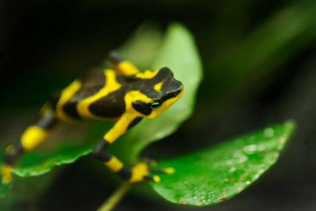 Harlequin-frog_Kike-Calvo-UIG-Getty623-9d4fd81