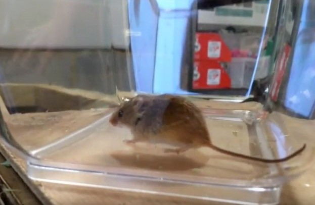Harvest-mice-video-screenshot-by-Amy-Jane-Beer-42a95d5