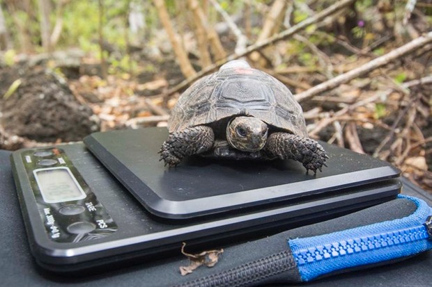 Galapagos tortoise, Chelonoidis nigra, Santa Cruz, Galapagos, Ecuador, August.