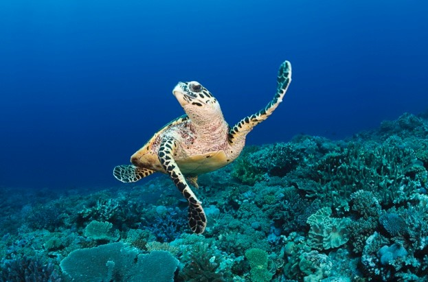 A hawksbill turtle (Eretmochelys imbricata) at Turtle Alley
