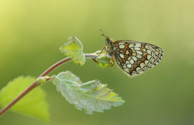 Heath fritillary numbers dropped by 27 per cent © Will Langdon / Butterfly Conservation