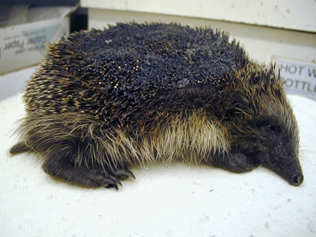 Hedgehog-Bonfire-BHPS-Stapeley-Grange-Oct-2014_623-e56a3bb