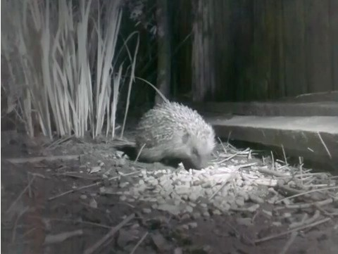 Hedgehog-video-screenshot_480-7b54ea8