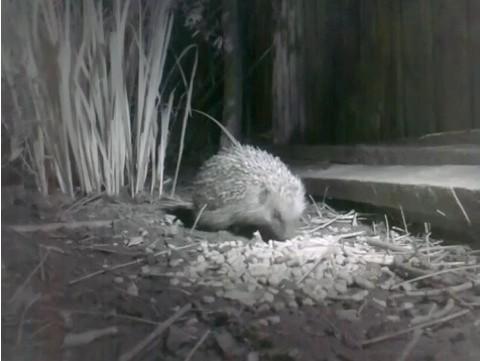 Hedgehog-video-screenshot_480-7b54ea8