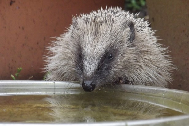 If you have hedgehogs in your garden, put out a shallow dish of water for them. © Michael Partridge