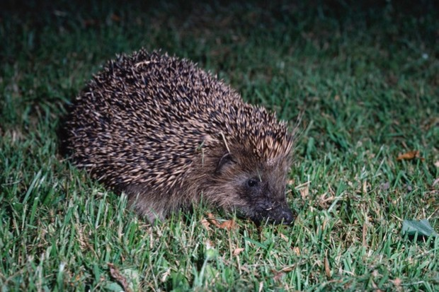 HedgehogFebruary2018_623-ef07332