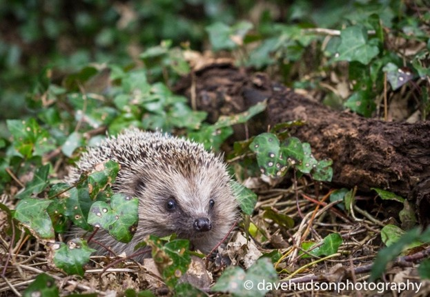 A European hedgehog in the undergrowth © Dave Hudson Photography