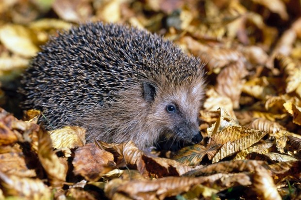 A new hedgehog project is being launched in Oxfordshire © Harald Lange / ullstein Bild / Getty