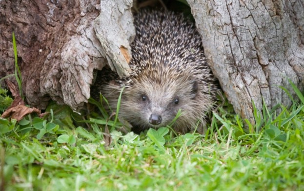Hedgehogs will drive sitting bird off the nest in order to eat its eggs © Les Stocker / Getty