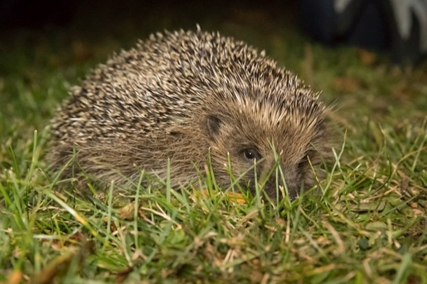 Hedgehog_PennyDixie_RoyalParks_623-280518f