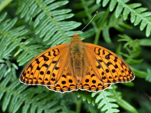 High brown fritillary butterfly at Heddon Valley. © Matthew Oates/National Trust