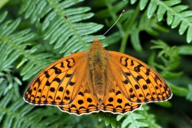 High brown fritillary butterfly at Heddon Valley. © Matthew Oates/National Trust