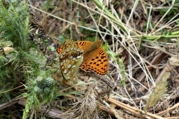 High brown fritillary pair at Heddon Valley. © Matthew Oates/National Trust