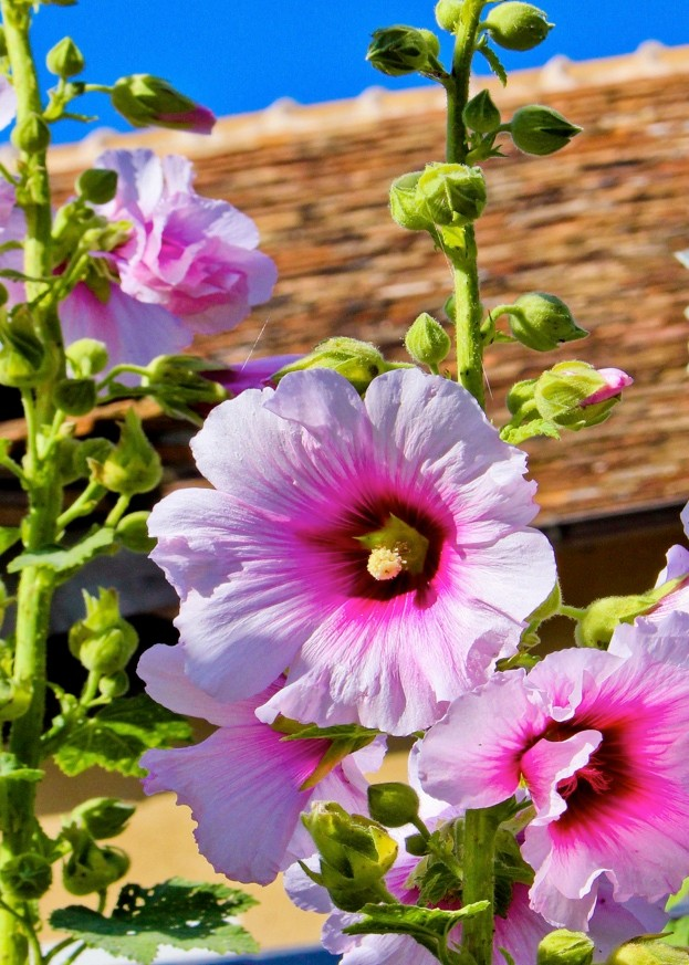 Hollyhock (Alcea rosea) © Andia / UIG / Getty