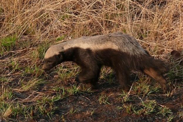 Honey-badger_ann-collier_623-4ce2943