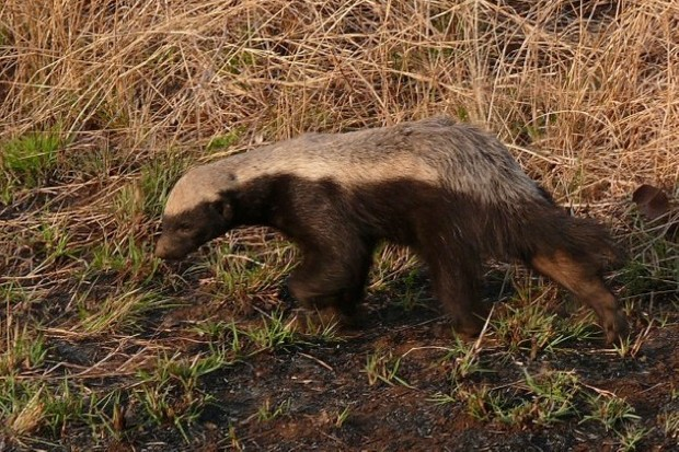 Why are honey badgers so aggressive?