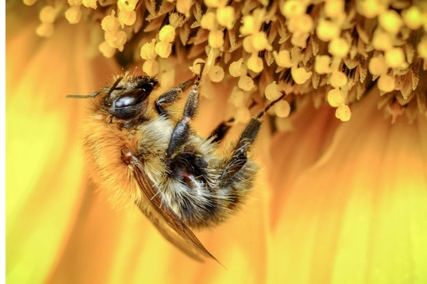 Honey-bee-Nuzulu-Getty_623-f399268