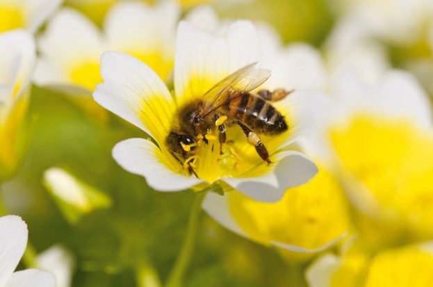 Honeybee_neonics-story_623-b342cb3
