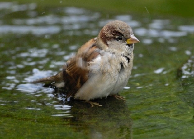 House sparrow bathing in water - garden birds need fresh water in the heatwave. © Ray Kennedy/RSPB
