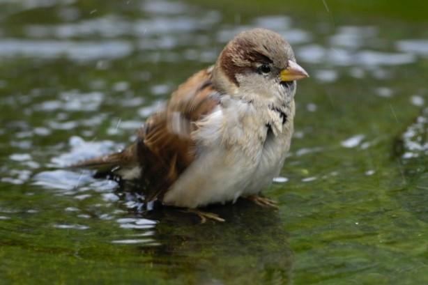 House sparrow bathing in water - garden birds need fresh water in the heatwave.© Ray Kennedy/RSPB