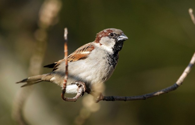 House-sparrow_AndiaUIGGetty_623-1097458