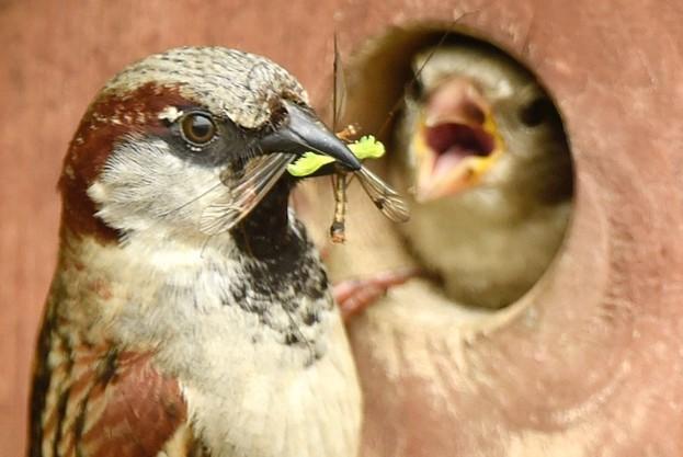 House-sparrow_Tony-Margiocchi_Barcroft-Media_Getty-Bedfordshire_623-0b2f801