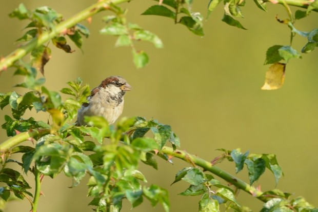 House sparrow Passer domesticus, adult male sitting on branch, Dorset, August