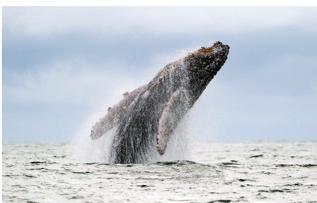 A humpback whale breaches at Uramba Bahia Malaga National Natural Park in Colombia. © Dan Kitwood/Getty