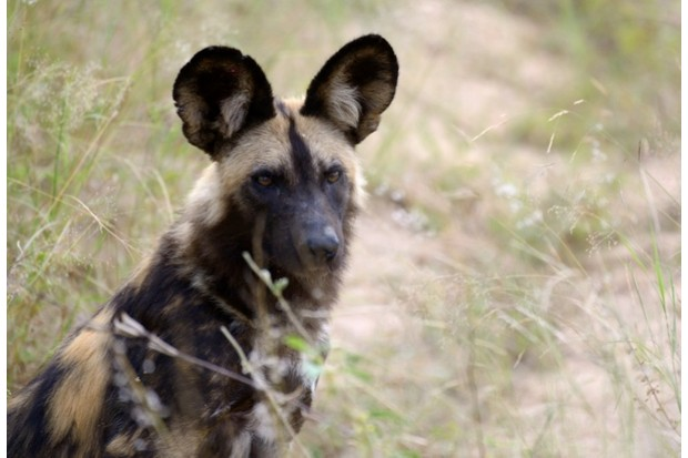 African wild dog in Kruget National Park, South Africa © Frédéric Soltan / Corbis / Getty