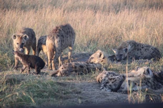Hyena_623-8159fca