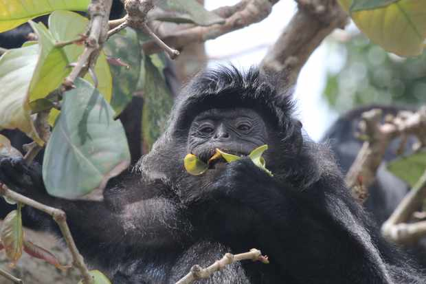 Researchers have been studying the flavour preferences of Javan lutung monkeys © Dr. Yamato Tsuji
