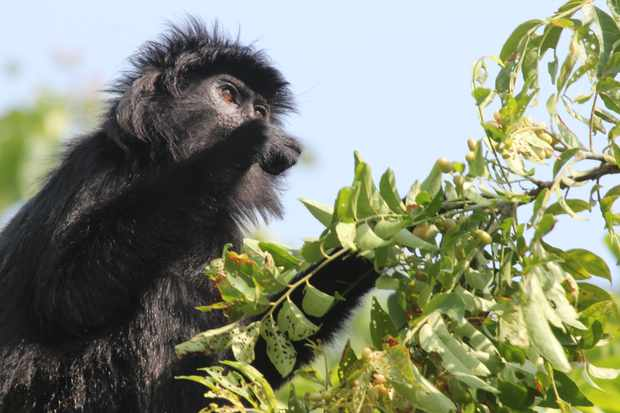 Javan lutung monkeys seem to be indifferent to sweet and sugary flavours © Dr. Yamato Tsuji
