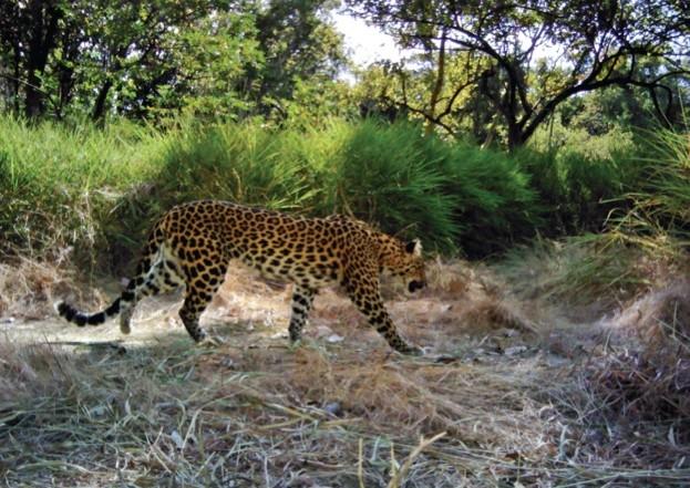 IndochineseLeopards_623-defb0f0