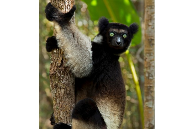 Indri (Indri indri) portrait in tropical rainforest habitat. Madagascar.