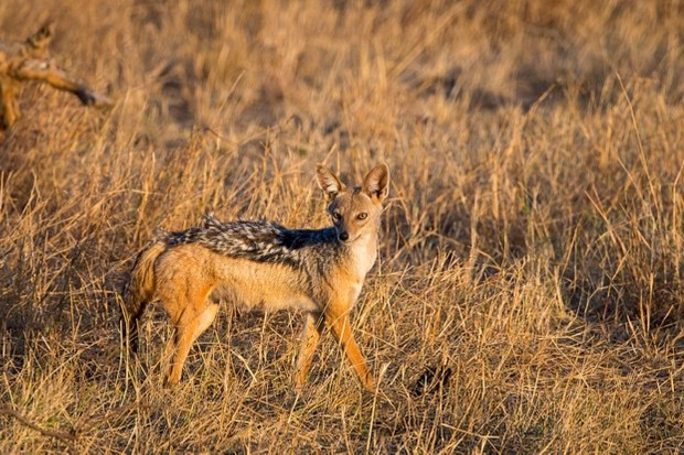 KENYA - 2016/08/27: A Black-backed jackal or Silver-Backed jackal (Canis mesomelas) in the grassland of the Masai Mara National Reserve in Kenya. (Photo by Wolfgang Kaehler/LightRocket via Getty Images)