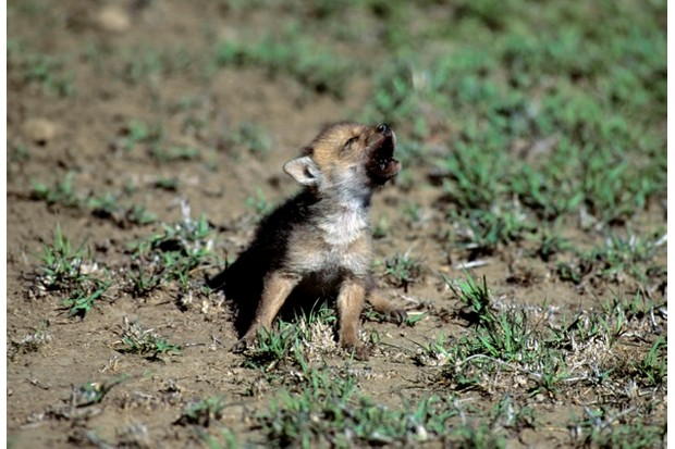 SERENGETI, TANZANIA - 1991/01/01: Tanzania, Serengeti, Common Jackal Pup. (Photo by Wolfgang Kaehler/LightRocket via Getty Images)