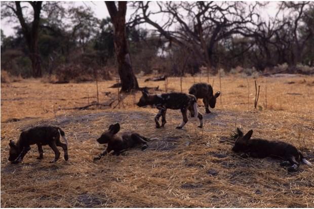OKAVANGO, BOTSWANA - 1994/01/01: Botswana, Okavango Delta, Mombo Island, African Wild Dog Pups. (Photo by Wolfgang Kaehler/LightRocket via Getty Images)
