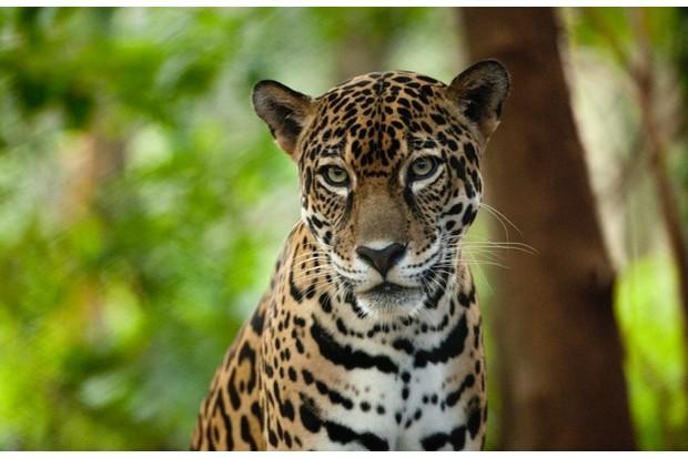 Jaguar_CostaRica_Captive_Las_Pumas_Rescue_Shelter_PaulSouders_623-37f279a