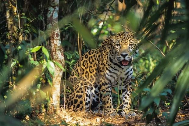 Jaguar_Javier-Fernández-Sánchez-Getty_623-7e855eb