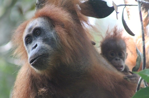 The Tapanuli orangutan is believed to be a separate species © James Askew