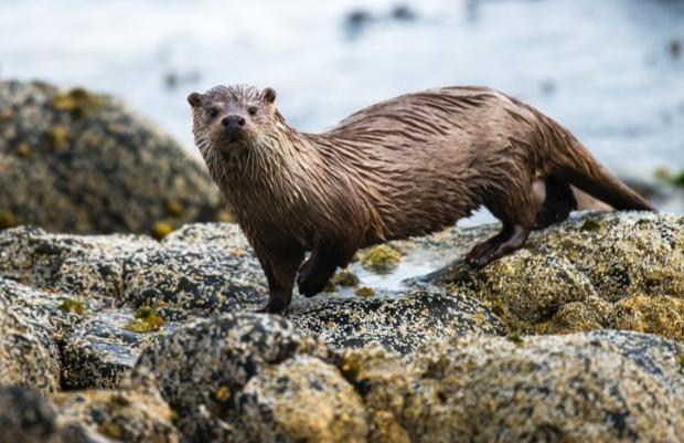 European otter (Lutra lutra) on shoreline rocks, Yell, Shetland Islands, Scotland