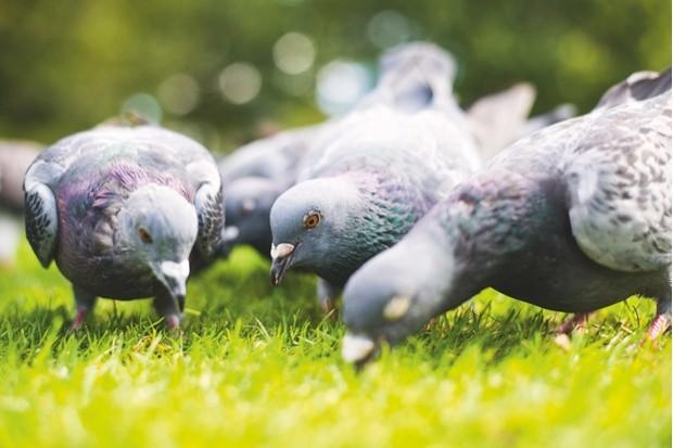K20Nethercoat_Pigeons_623-d198ef1